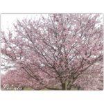 サクラサク、桜の商品がいっぱい♪(オススメ紹介有り)