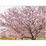 桜の花たちに教えられたこと